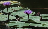 (Nymphaea sp.)